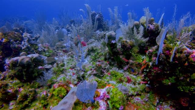 カリブ海のベリーズ ・ バリア ・ リーフの熱帯魚の多くのサンゴ礁の海の生活/アンバーグ リース Caye