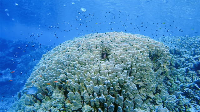 Sea life on coral reef with lot of tropical Fish ( Chromis dimidata ) on Red Sea nearby Marsa Alam