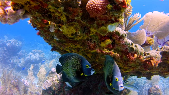 sea life on hol chan marine reserve with french angelfish in caribbean sea - belize barrier reef / ambergris caye - sottomarino subacqueo video stock e b–roll