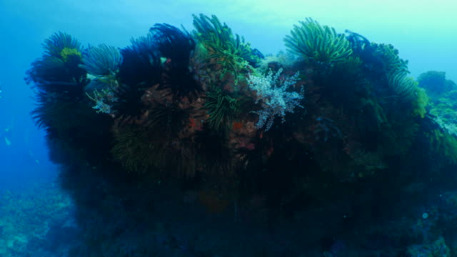 Sea lily and coral colony in undersea stone