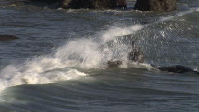 A sea lion aggressively bites another in ocean waves.