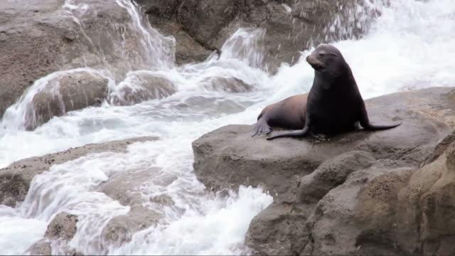 MS, Sea Lion, Bandon, Oregon