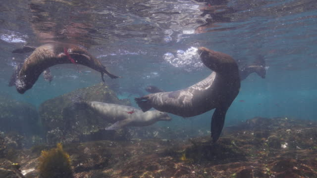 sea lion, close-up shot, at galapagos - sea grass plant stock videos & royalty-free footage