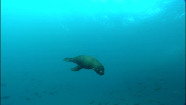 a sea lion dives towards the seabed then heads towards the surface of the pacific ocean. - sea lion stock videos & royalty-free footage