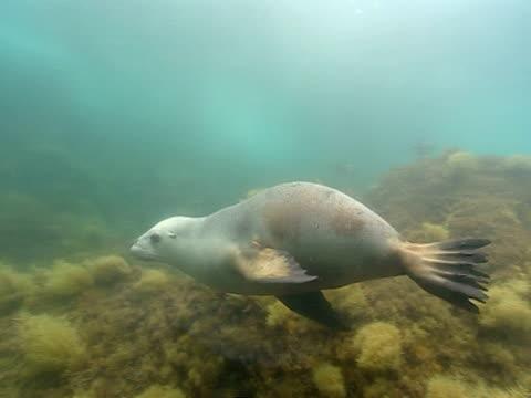 vídeos de stock, filmes e b-roll de a sea lion drifts over a coral reef in the ocean. - mamífero aquático