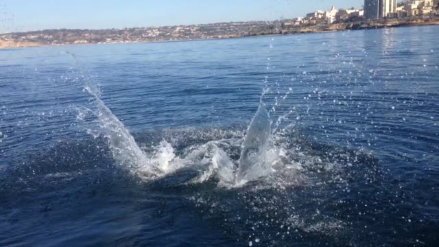 A sea lion eats a leopard shark off the coast of La Jolla in San Diego California on a clear winter day The video was filmed from a standup paddle...