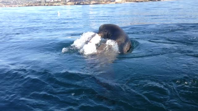 a sea lion eats a leopard shark off the coast of la jolla in san diego california on a clear winter day the video was filmed from a standup paddle... - water sports equipment stock videos and b-roll footage