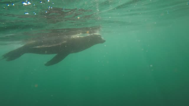 sea lion eats a leopard shark off the coast of la jolla in san diego, california on a clear winter day. the video was filmed from a stand-up paddle... - robbe stock-videos und b-roll-filmmaterial