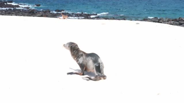 sea lion in galapagos - seal pup stock videos & royalty-free footage