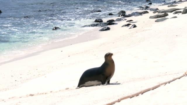 vídeos y material grabado en eventos de stock de león marino en galápagos - ecuador