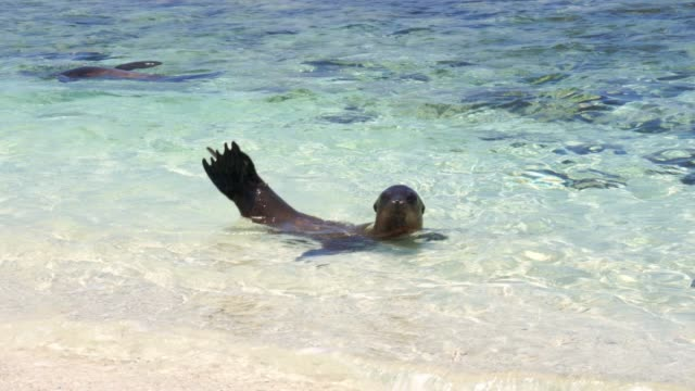 sea lion in galapagos - sea lion stock videos & royalty-free footage
