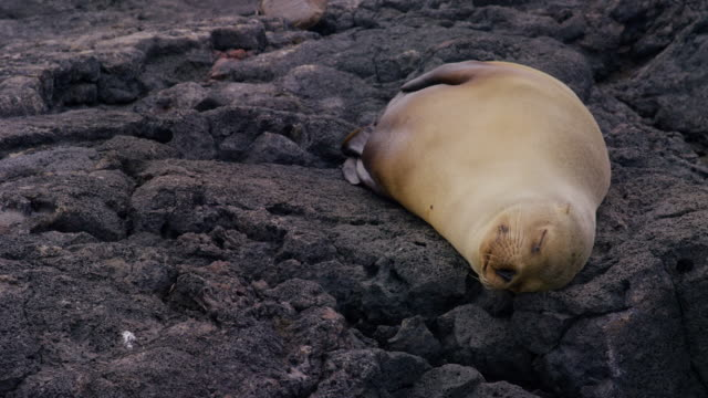 sea lion in the galapagos - seal animal stock videos & royalty-free footage