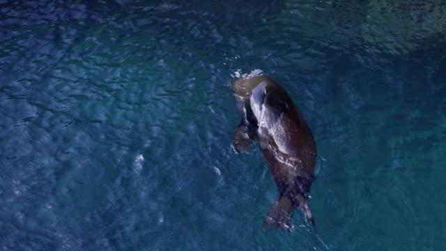 vidéos et rushes de sea lion in the galapagos - otarie à fourrure