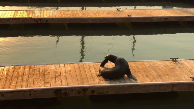 sea lion in the pier 39 of san francisco city. - sea lion stock videos & royalty-free footage