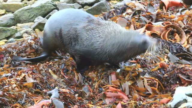 sea lion jumping - kaikoura stock videos & royalty-free footage