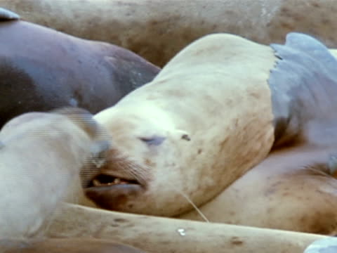 vídeos de stock e filmes b-roll de sea lion laying w/ head on another. sea lion crawling over others on beach. - encostado