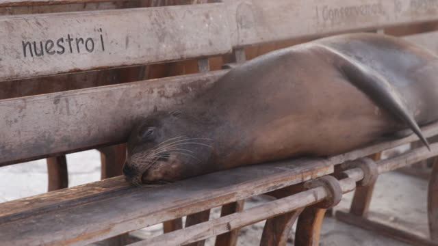 "stockvideo's en b-roll-footage met sea lion lying lazily on a bench that says ""conservemos lo nuestro"" in the late sunlight, san cristã³bal, galã¡pagos, ecuador - zeeleeuw"