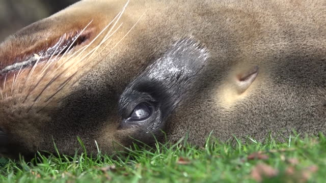 sea lion lying on grass lawn basking in sun - sea grass plant stock videos & royalty-free footage