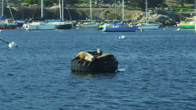 sea lion mammal harbour buoy monterey california usa - aquatic mammal stock videos & royalty-free footage