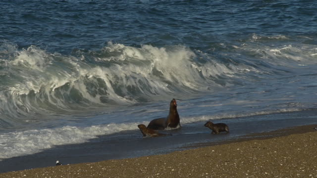 Sea lion mother with puppies in the surf of the beach in Punta Norte