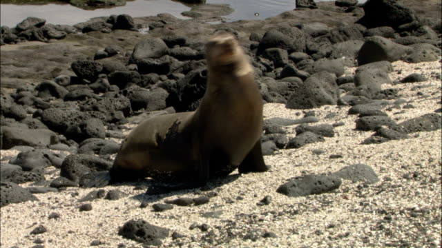 a sea lion moves across rocks and sand on a beach. - robbe stock-videos und b-roll-filmmaterial