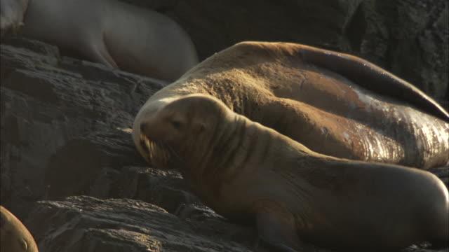 a sea lion moves on a rock amid basking sea lions. - アシカ点の映像素材/bロール