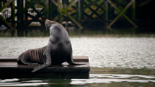 hd sea lion on dock - sea lion stock videos & royalty-free footage