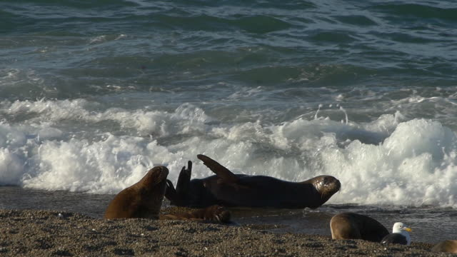 Sea lion playful in the surf of the beach