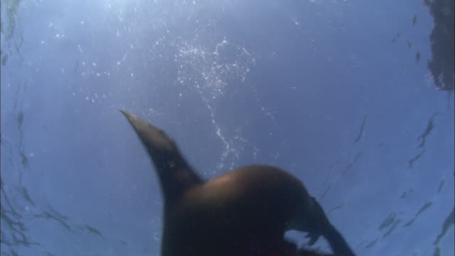a sea lion plays underwater. - sea lion stock videos & royalty-free footage