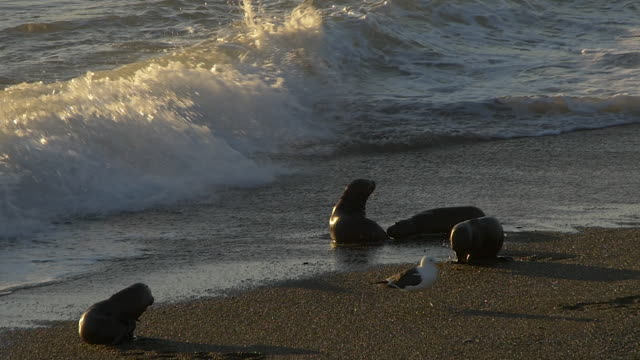 sea lion puppies play in the morning light on the beach in punta norte - sea lion stock videos & royalty-free footage