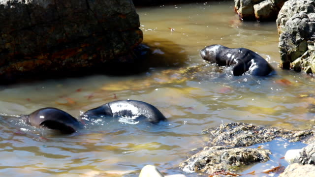 Sea Lion pups playing in rock pool(Otaria flavescens)