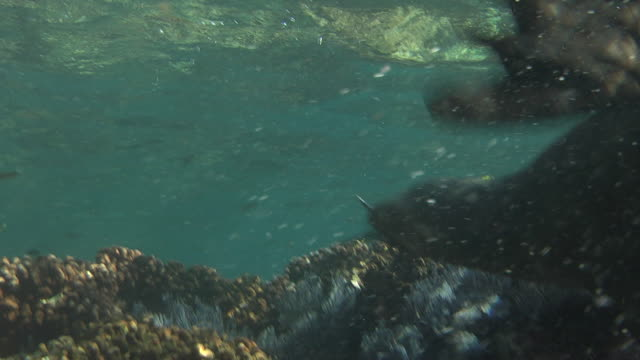 a sea lion pursues fish on a rocky seabed. - sea of cortez stock videos & royalty-free footage