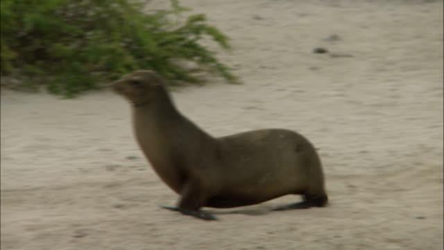 vidéos et rushes de a sea lion runs along the beach of the galapagos islands, ecuador. - phoque