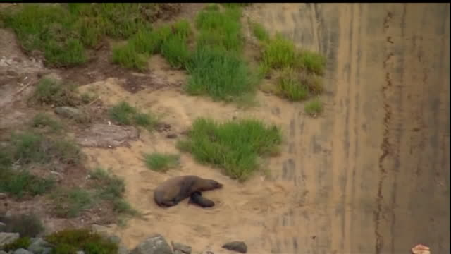 a sea lion safely gave birth to a pup along a coronado bike path on silver strand beach and skyfox was overhead to capture the mother's first moments... - young animal stock videos & royalty-free footage