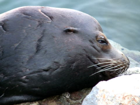 sea lion seal face, close up.  looks at camera, blinks - retina stock videos and b-roll footage