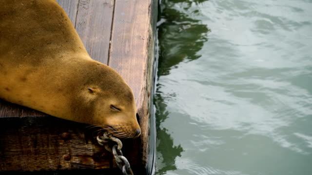 sea lion sleeping on dock in san francisco , california - north beach san francisco stock videos & royalty-free footage