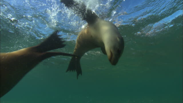 sea lion swim by into dome, mexico  - sea lion stock videos & royalty-free footage