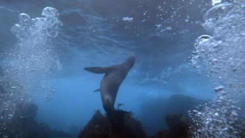vidéos et rushes de ms, sea lion swimming underwater, los angeles, california, usa - océan pacifique nord