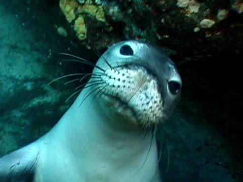 stockvideo's en b-roll-footage met sea lion swimming - zeeleeuw