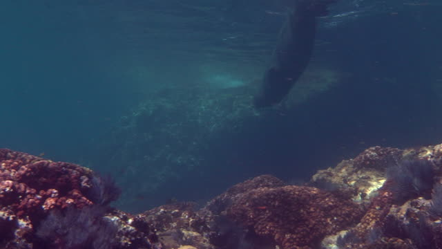 a sea lion swims along a sun dappled seabed. - dappled light stock videos and b-roll footage