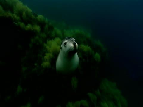 vídeos de stock, filmes e b-roll de a sea lion swims away from a lush ridge in the ocean. - mamífero aquático