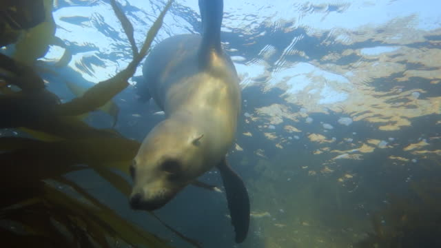 sea lion swims from surface past camera in monterey, ca - sea lion stock videos & royalty-free footage