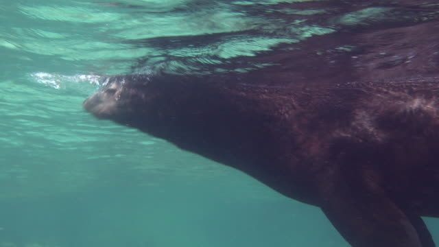 A sea lion swims in sun-dappled water.