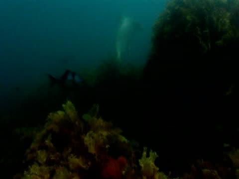 vídeos de stock, filmes e b-roll de a sea lion swims out from under kelp in the ocean past tropical fish. - mamífero aquático