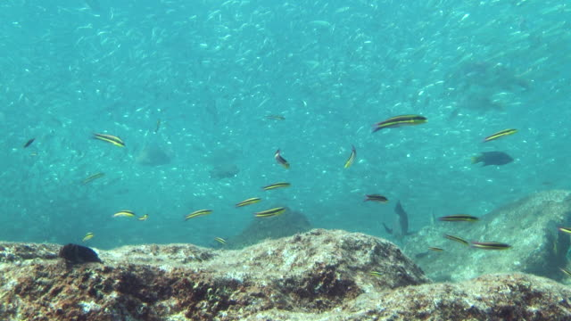 a sea lion swims past a variety of fish in the sea of cortez. - sea lion stock videos & royalty-free footage