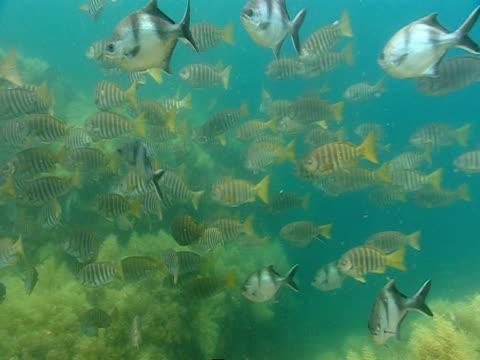 vídeos de stock, filmes e b-roll de a sea lion swims past schools of tropical fish near a coral reef. - mamífero aquático