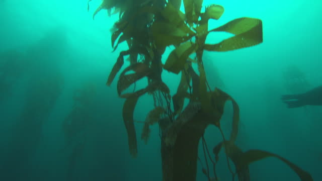 A sea lion swims through a kelp forest. Available in HD.