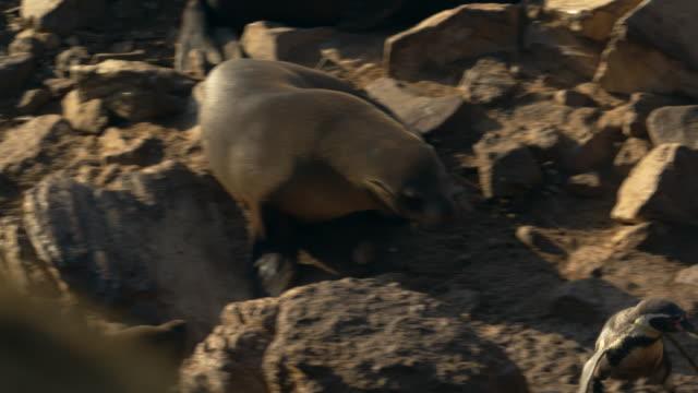 sea lion threatening humboldt penguins / punta san juan, peru, south america - seal animal stock videos & royalty-free footage