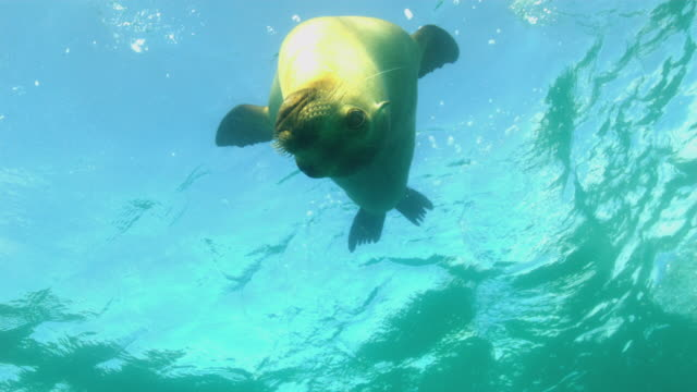 sea lion - seal animal stock videos and b-roll footage