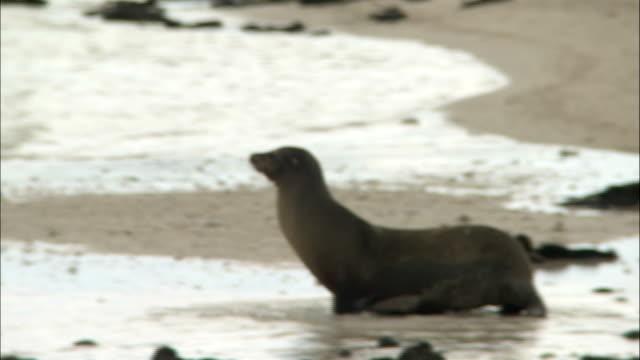 vidéos et rushes de a sea lion walks into an ocean tide on the galapagos islands, ecuador. - phoque